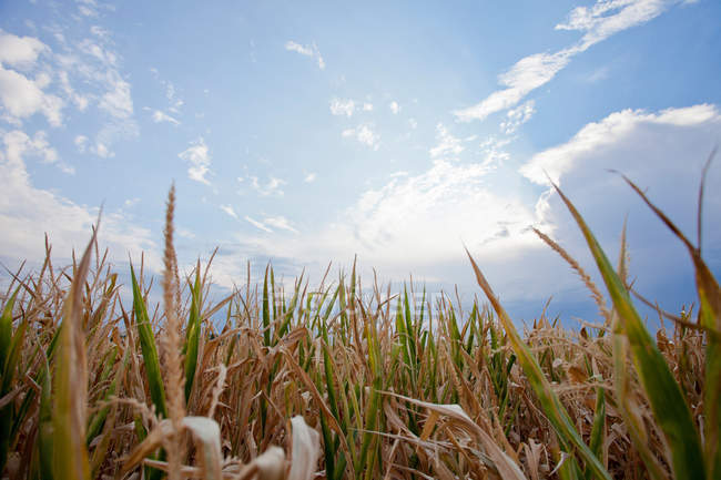 View of Corn field under blue sky — Stock Photo