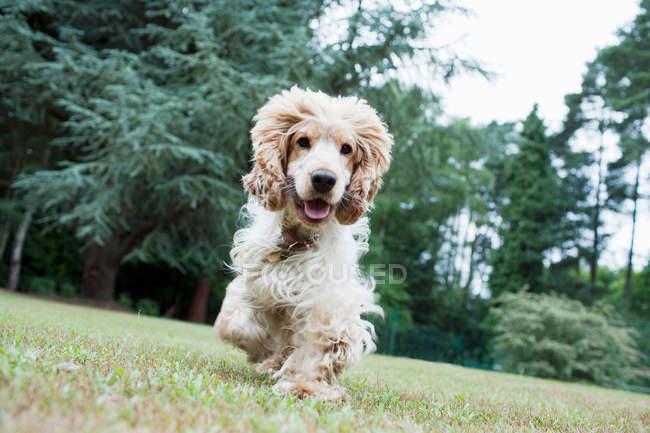 Cachorro correndo na grama verde, com a boca aberta — Fotografia de Stock
