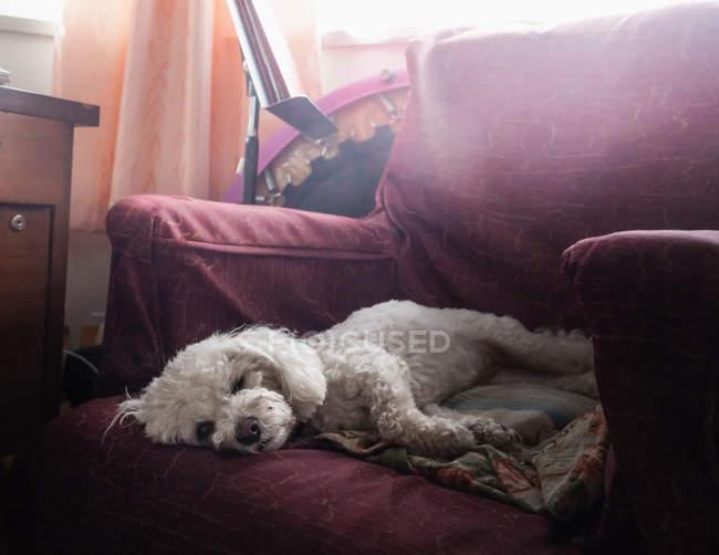 Cane barboncino bianco sdraiato sulla poltrona — Foto stock