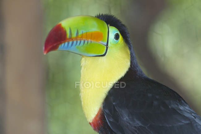Keel-billed toucan at San Jose, Costa Rica — Stock Photo