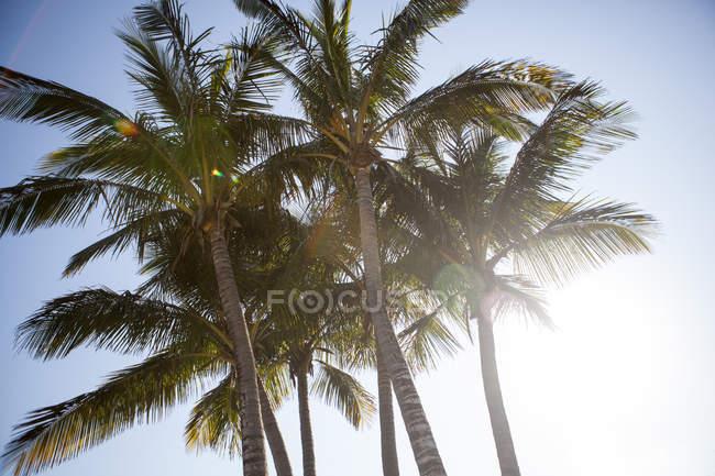 Низкий угол обзора пальм, против голубого неба — стоковое фото