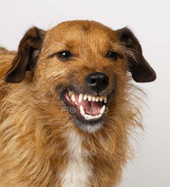 Коричневый рычание собаки изолированы на белом — стоковое фото