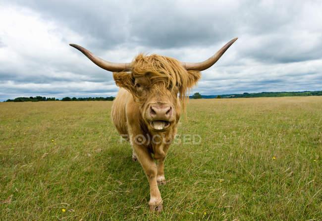 Vue de face de vache Highland regardant la caméra, sortir la langue — Photo de stock