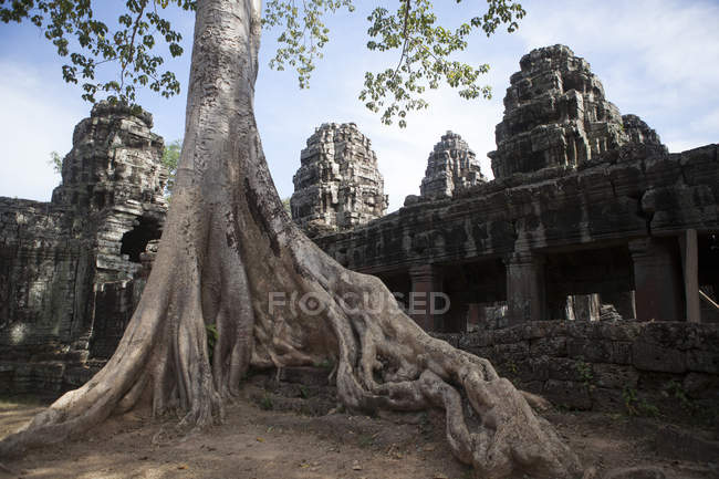 Ancient temple with big tree root — Stock Photo