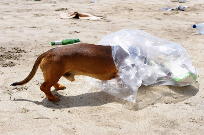 Dog with head in garbage bag — Stock Photo