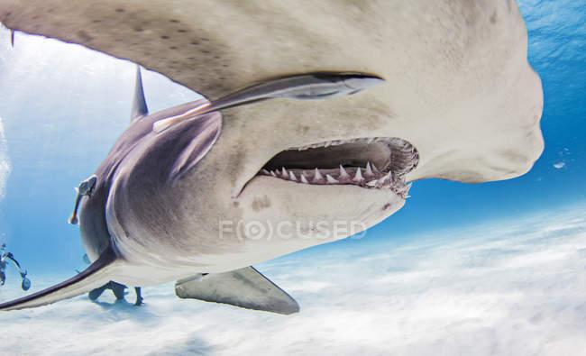 Grands requins de Hammerhead avec des plongeurs à l'arrière-plan — Photo de stock