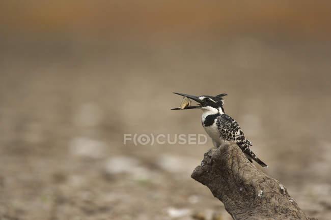 Строкатою зимородок, проведення риби — стокове фото