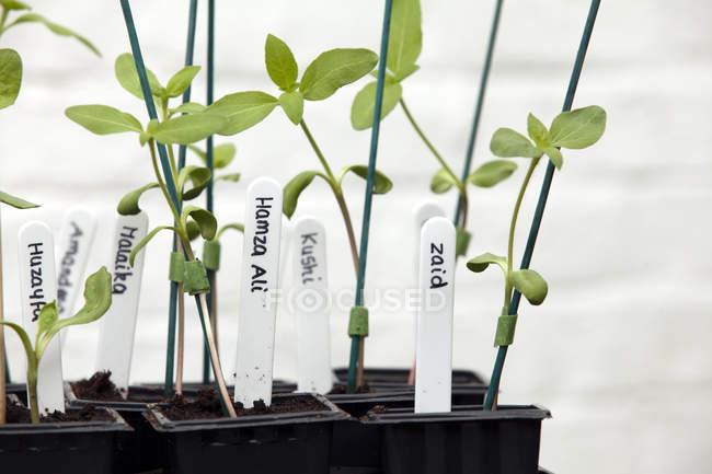 Растения подсолнечника на Садовый столик в парнике — стоковое фото