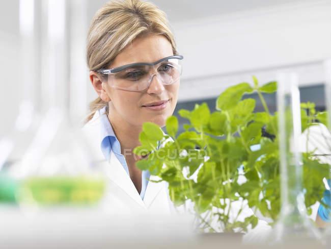 Cientista que vê o desenvolvimento de plantas experimentais em laboratório de pesquisa — Fotografia de Stock
