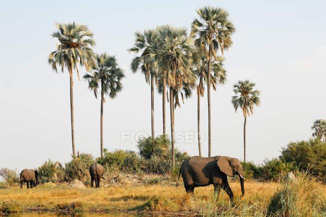 Elefantes sob as palmeiras na luz solar brilhante, Botswana — Fotografia de Stock