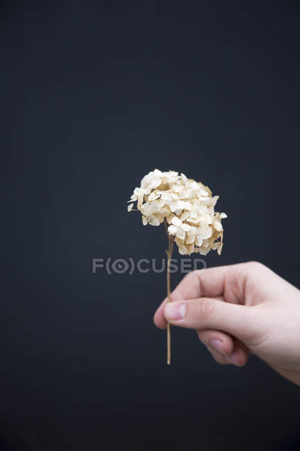 Person holding dried hydrangea flower — Stock Photo