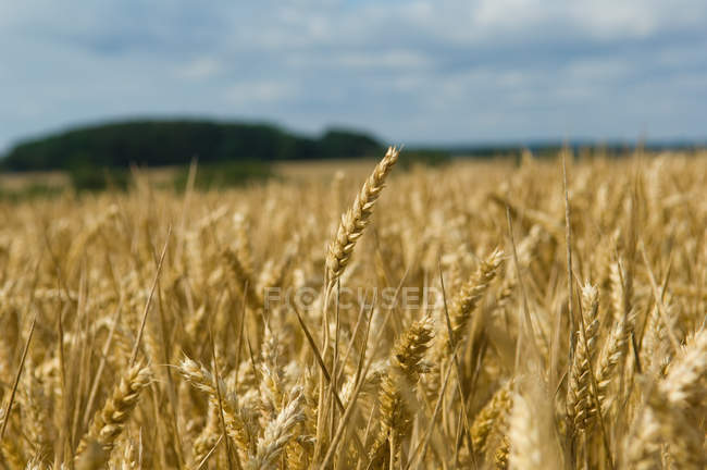 Field with ripe wheat spikelets — Stock Photo