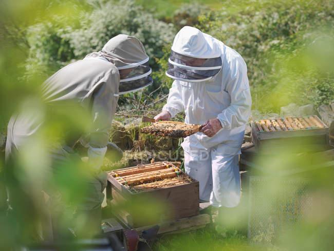 Beekeepers inspect bee hive — Stock Photo