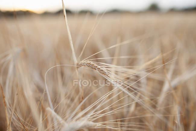 Ähren im Weizenfeld — Stockfoto