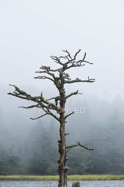 Bare tree with misty forest on background — Stock Photo