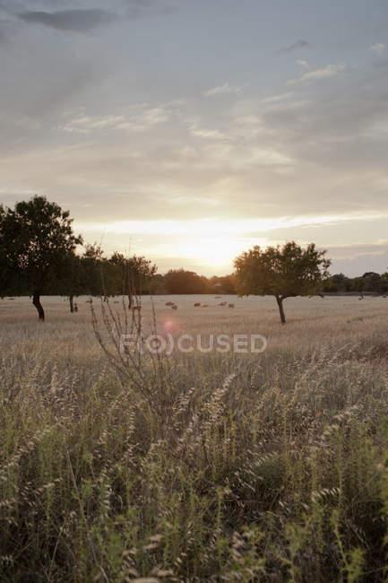 Pascolo di ovini distanti nel campo di grano — Foto stock