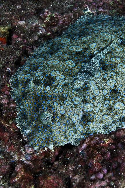 Solha-de-pavão deitada no fundo do mar — Fotografia de Stock