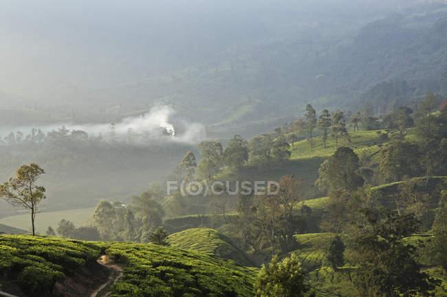 Vista da plantação de chá — Fotografia de Stock