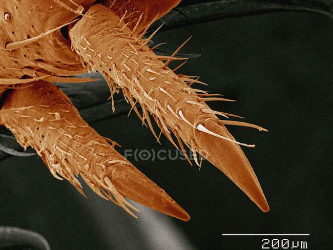 Кольорові мікрофотографія ногу шпори будинок крикет — стокове фото