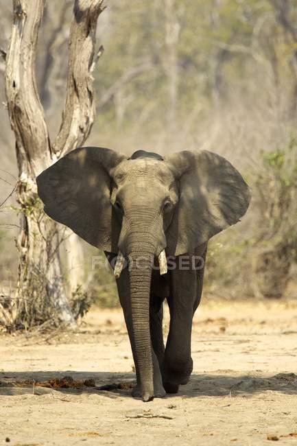 Alerta a elefante africano en Mana Pools - foto de stock