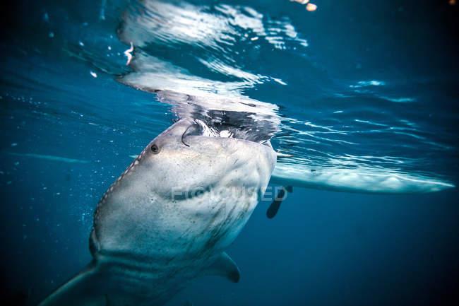 Close-up tiro de tubarão-baleia com a boca aberta — Fotografia de Stock