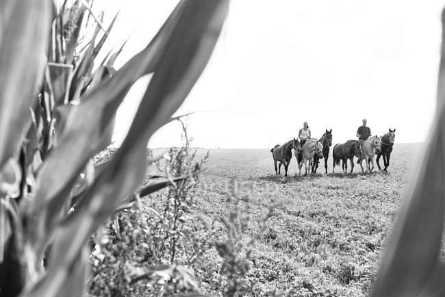 Immagine in bianco e nero di uomo e donna che cavalcano e guidano sei cavalli in campo — Foto stock