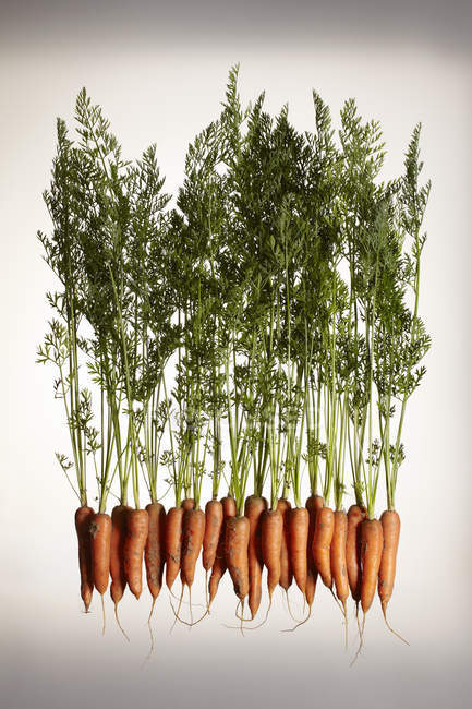 Fresh carrots with roots and leaves — Stock Photo
