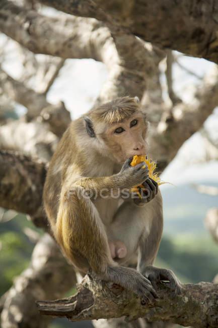 Haubenaffe frisst Früchte auf Ästen, sri lanka — Stockfoto