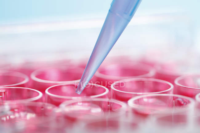 Precision micropipette is used to transfer cell culture medium to multi-well plate — Stock Photo