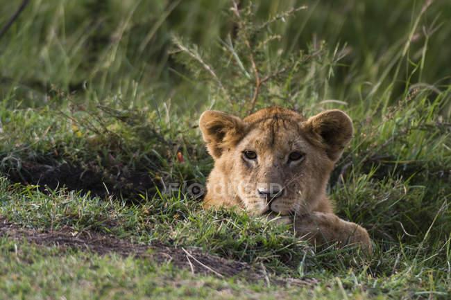 Lion cub (Panthera leo), Masai Mara, Kenya, Africa — Stock Photo