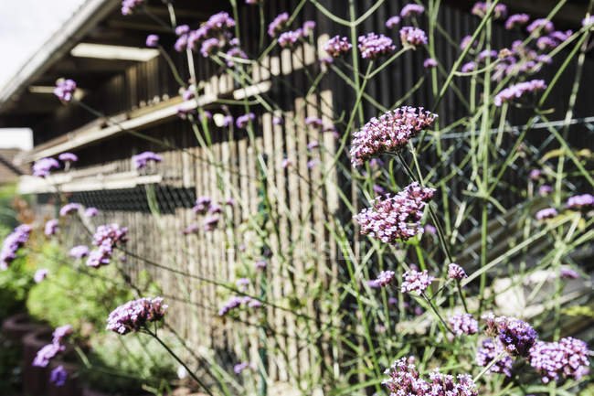 Purple flowers in sunlit garden — Stock Photo