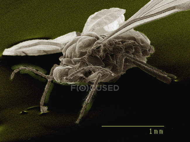Coloured scanning electron micrograph of winged adult aphid — Stock Photo
