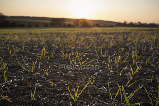 New crops growing in fields — Stock Photo