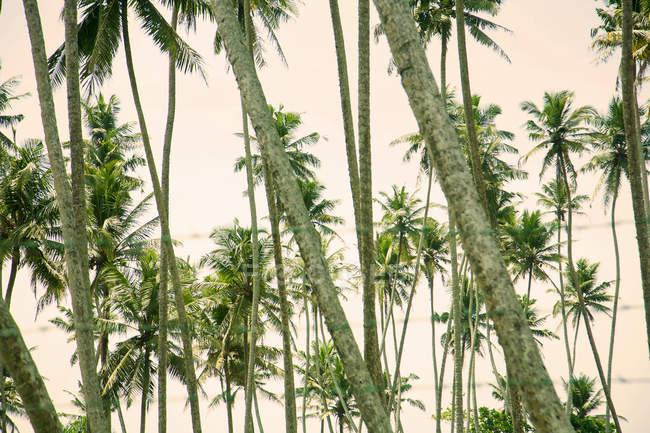 Linhas de verde, palmeiras, Sri Lanka — Fotografia de Stock