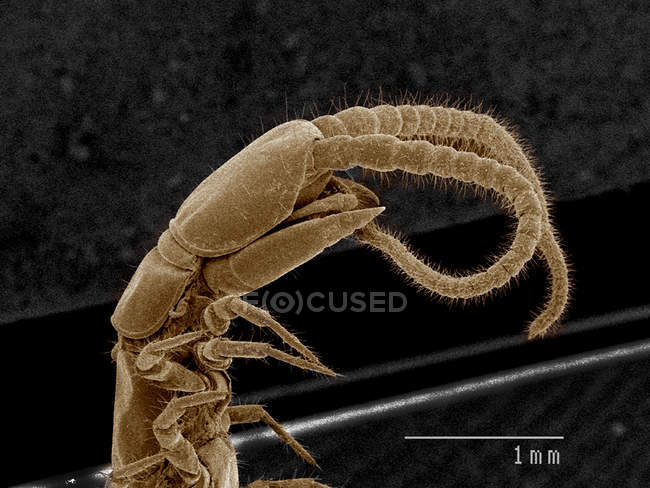 Head and fangs of centipede, Chilopoda SEM — Stock Photo