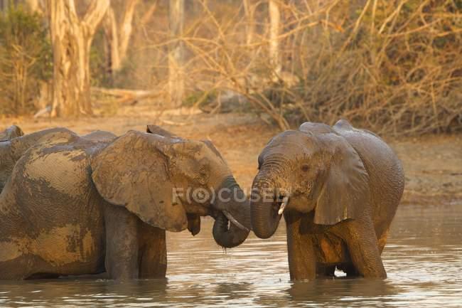 Африканские слоны купаются в водопое — стоковое фото
