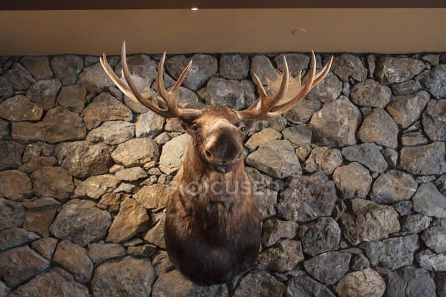 Cabeça de alce, montada na parede de pedra — Fotografia de Stock