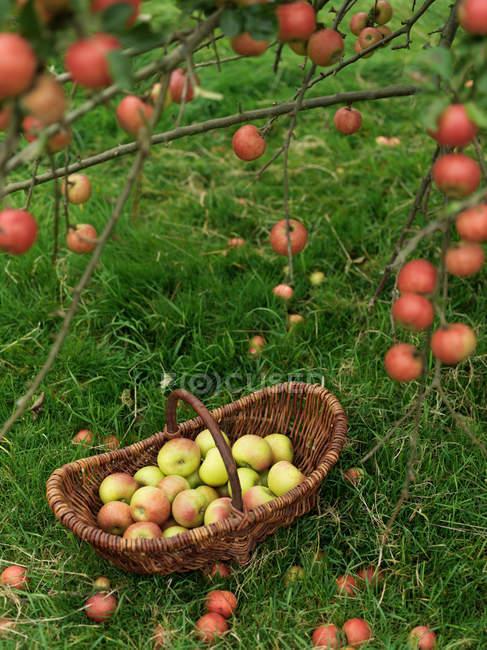 Korb voller reifer Äpfel auf dem grünen Rasen — Stockfoto