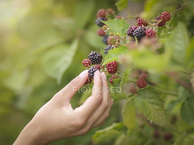 Working picking blackberries on fruit farm, close up — Stock Photo