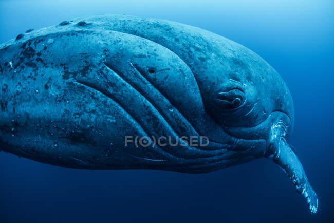Gros plan de rorqual à bosse sous l'eau — Photo de stock