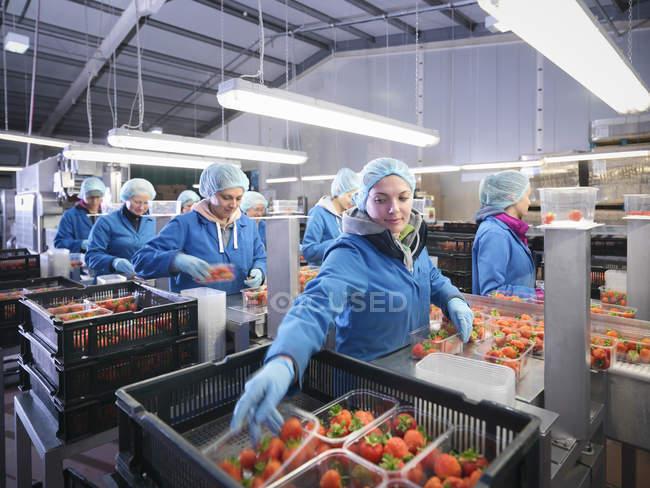 Рабочие упаковывают свежую клубнику в подносы на фруктовой ферме — стоковое фото