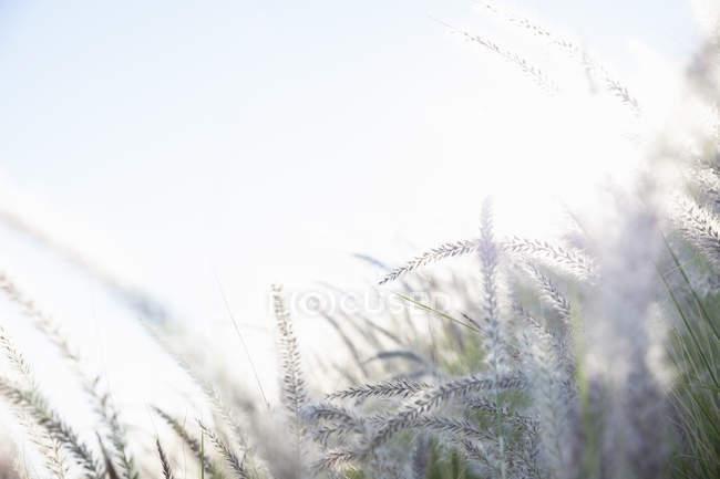 Long grasses in sunlight — Stock Photo