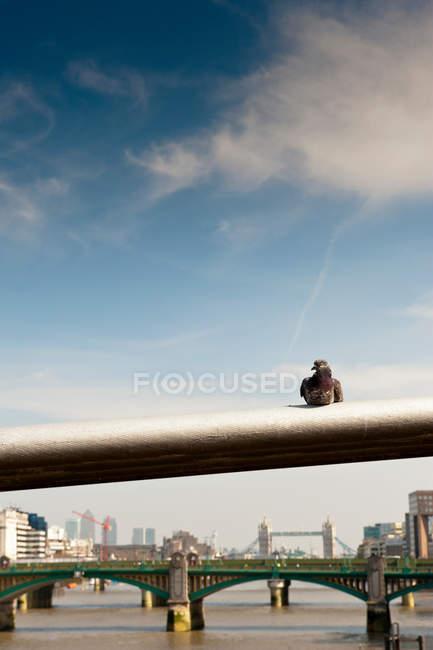 Pigeon sur la rampe du pont de Londres contre le ciel nuageux — Photo de stock