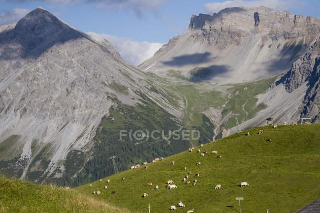 Cows grazing in field, Schanfigg, Graubuenden, Switzerland — Stock Photo