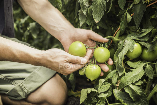 Cropped view of mans hands quality checking tomato plant — Stock Photo