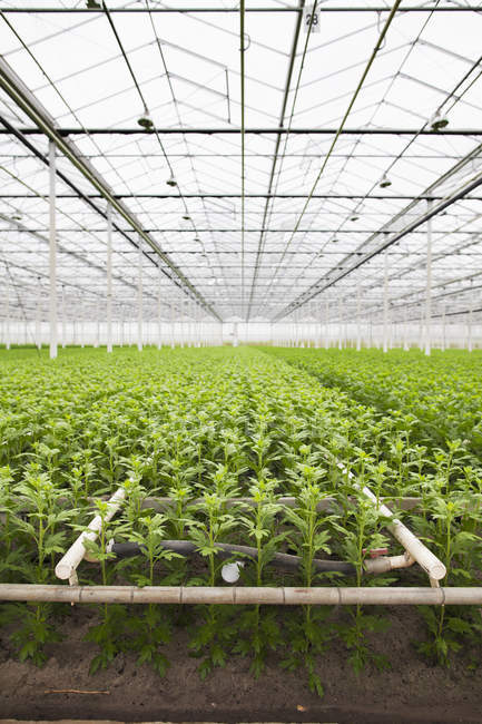 Rows of young plants growing in greenhouse — Stock Photo