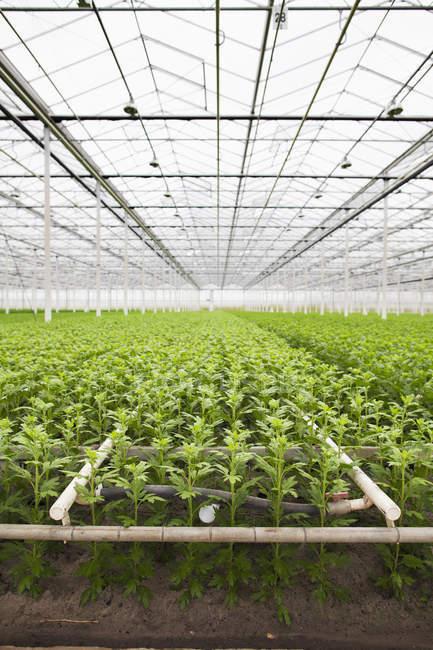 Fileiras de plantas jovens que crescem em estufa — Fotografia de Stock