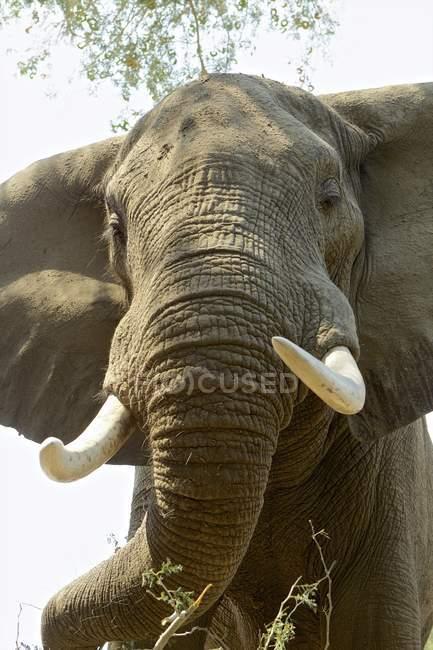 Nahaufnahme des Afrikanischen Elefanten oder Loxodonta africana im Mana Pools Nationalpark, Zimbabwe — Stockfoto