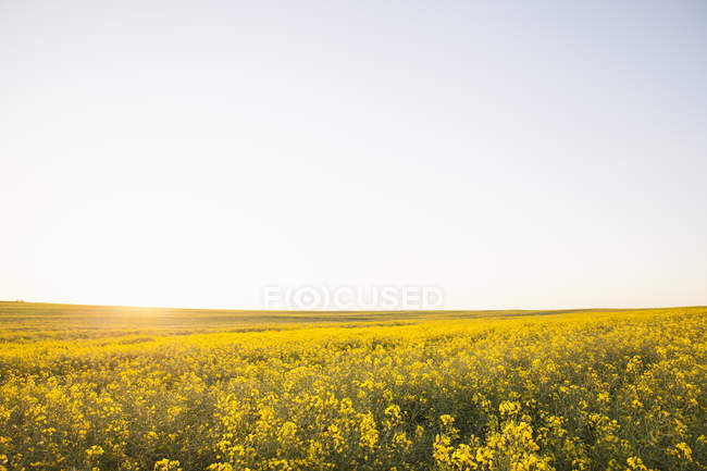 Blooming yellow canola field in sunshine with clear sky — Stock Photo