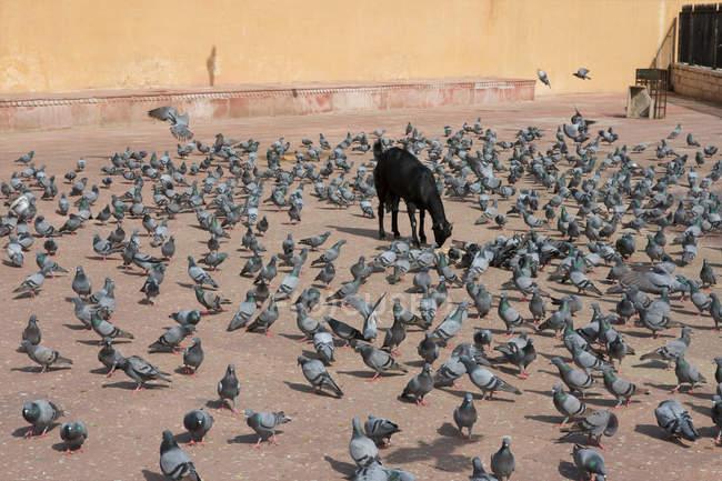 Chèvre et pigeons en Amer Fort — Photo de stock
